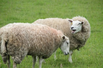 sheep-2375699_960_720