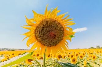 sunflower-1507956_960_720