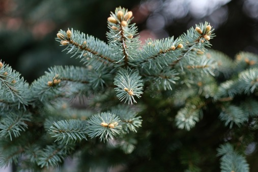 christmas-tree-1828525_960_720